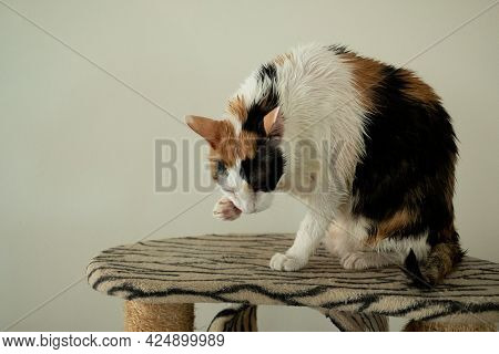 A Calico Cat Is Licking After Bath.