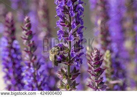 Detail Of Violet Blooming Lavender Plant  With Bee Looking For Nectar