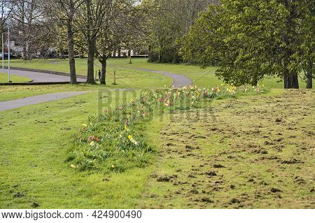 Beautiful Spring View Of Colorful Tulip Alley With Footpath And Cutted Lawn Grass In Ballawley Park,
