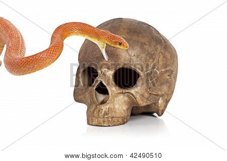 Red Texas rat snake with human skull on white poster