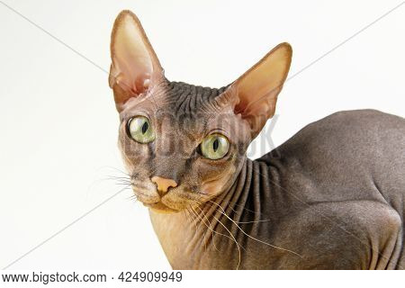 A Naked Sphinx Cat With Huge Green Eyes Looks With A Sad Or Thoughtful, Calm Look. Funny Bald Kitten