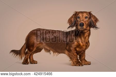 Side view of a brown dachshund dog looking at the camera, on colored background