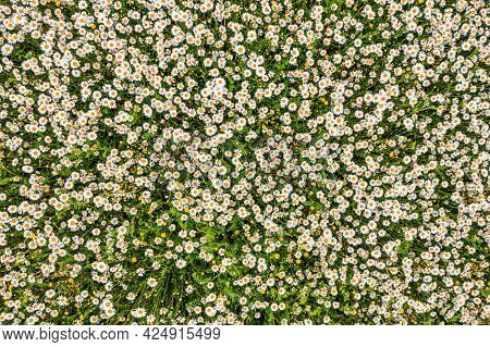 Top view of a camomile or ox-eye daisy meadow, daisies, top view,  background texture