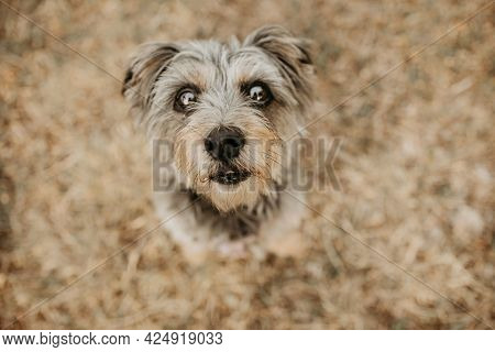 Elderly Yorkshire Dog Looking Up On Green Grass. High Angle View