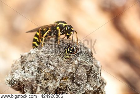 Wasp At A Wasp Nest. Wasp Nest. Selective Focus.