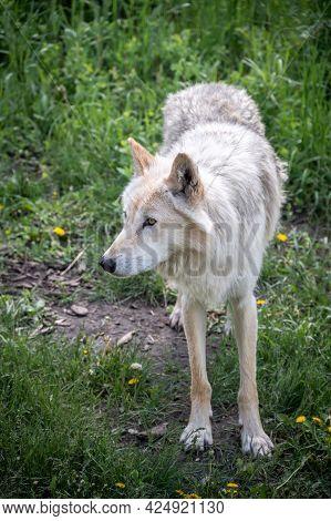 A Wolf Dog At The Yamnuska Wold Dog Sanctuary In Alberta.