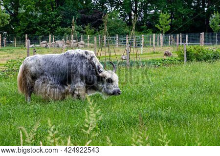 Impessive Black And White Ox In The Field