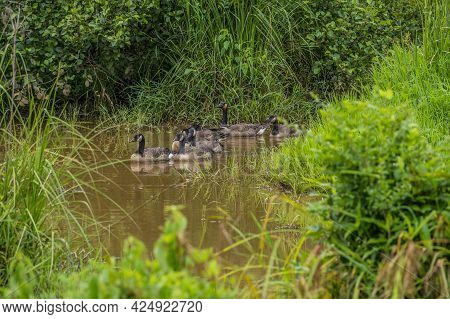 Canadian Geese Parents Together With Their Full Grown Goslings Swimming In The Muddy Shallow Water S