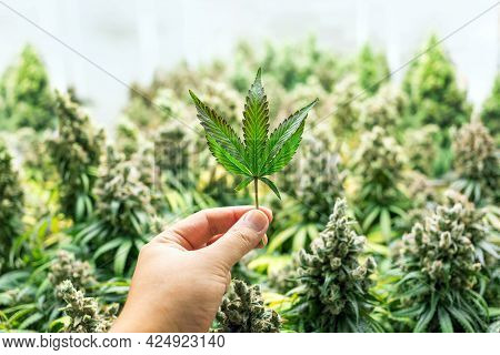 Hand Hold Cannabis Sativa Leaf On Medical Lab For Drug Industry(include Path)