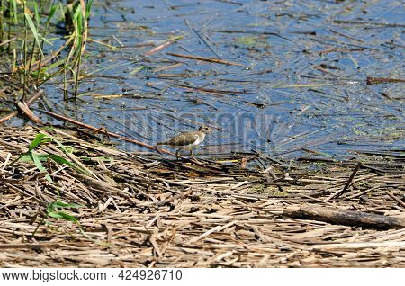 The Bird Stands On The Bank Of The River In The Thickets Of Cattail. The Common Sandpiper (actitis H