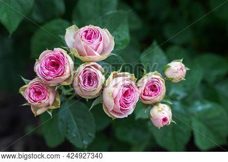 Close-up Bouquet Of Pink Blooming Rose Bush Called Mimi Eden Floribunda. A Pink Roses In Bloom. Fres