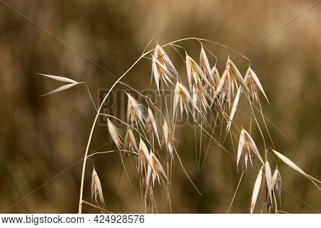 Spikelets Of The Ornamental Plant Pennisetum In A City Park In Northern Israel.