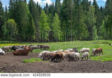 Livestock, Sheep And Cows Graze At The Edge Of The Forest In The Countryside. Meat And Dairy Farming