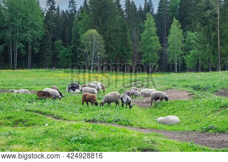 Livestock, Sheeps Graze At The Edge Of The Forest In The Countryside. Meat And Dairy Farming, Dairy