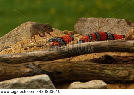 The Greer's Kingsnake (lampropeltis Mexicana Greeri) On The Sand With Stones And Old Branch Hunting