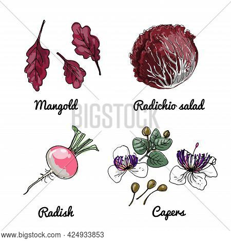 Vector Food Icons Of Vegetables. Colored Sketch Of Food Products. Mangold, Radichio Salad, Radish, C