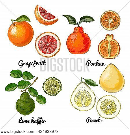Citrus Vector Food Icons Of Fruits. Colored Sketch Of Food Products. Ponkan, Pomelo, Grapefruit, Faf