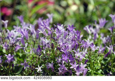 Beautifully Blooming Blue Serbian Bellflower (campanula Poscharskyana)