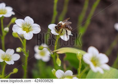 Honey Bee On White Flowers. Plants Pollination. The Question Of The Disappearance Of Bees.