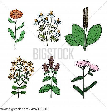 Big Set Of Vintage Original Botanical Illustrations Of Medicinal Herbs.