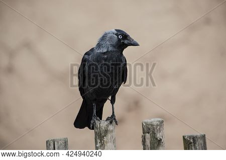 The Hooded Crow (corvus Cornix) . Hooded Crow-the Hooded Crow (corvus Cornix) Is A Eurasian Bird Spe