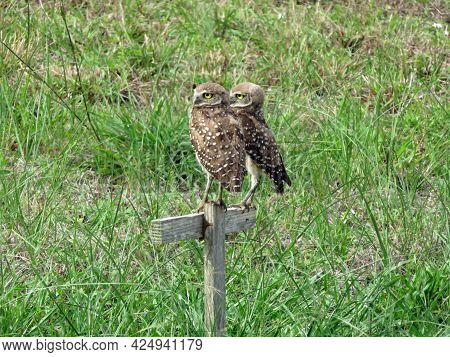 The Burrowing Owl (athene Cunicularia Floridana), In Cape Coral, Florida