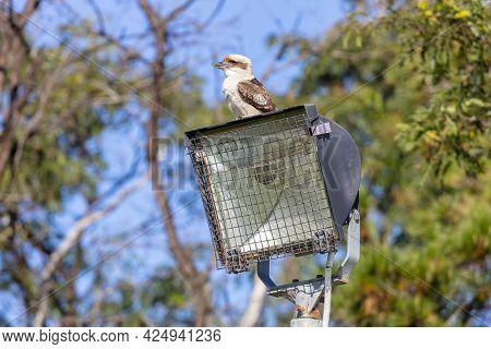 Photograph Of An Australian Kookaburra Sitting On A Light Tower Near Gum Trees Against A Bright Blue