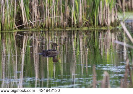 The Hooded Merganser (lophodytes Cucullatus) , Hen In The Marsh