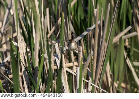 The Marsh Wren (cistothorus Palustris). Small North American Songbird In His Natural Environment