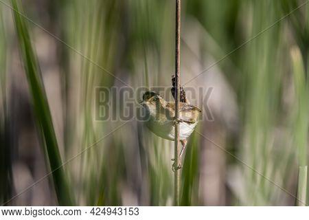 The Marsh Wren (cistothorus Palustris). Small North American Songbird In His Natural Environment.