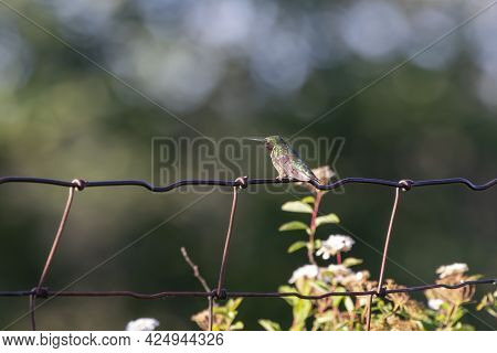 Ruby-throated Hummingbird (archilochus Colubris) Sitting On A Fence
