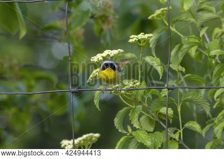 The Common Yellowthroat (geothlypis Trichas) It Is Also Known As The Yellow Bandit. It Is An Abundan