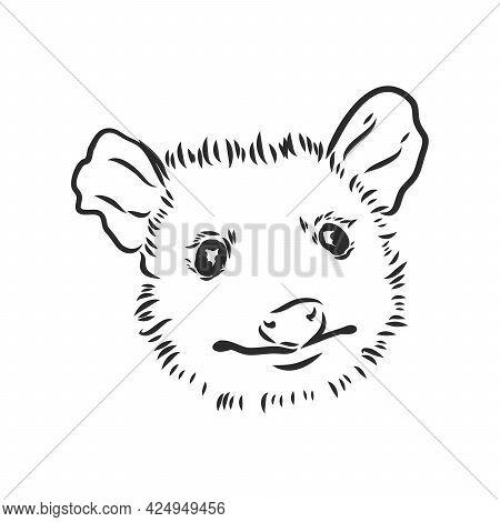 Vector Sketch Possum Muzzle Possum Vector Illustration