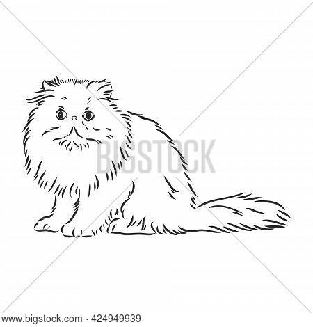 Hand Drawing Persian Cat Vector Version Persian Cat Vector Sketch