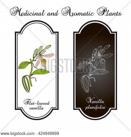 Flat-leaved, Or West Indian Vanilla V. Planifolia , Medicinal Plant. Hand Drawn Vector Illustration