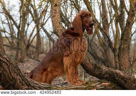 Beautiful, Shiny Red Irish Setter Stands Of Trees Spring