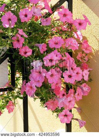 Blooming Beautiful Pink Petunia Flowers And White Watering Can Stands On Table. Metal Forged Furnitu
