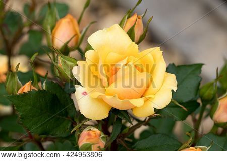 Large, Fragrant, Sumptuous, Yellow Roses With A Bud Against A Dark-leafed Rose Shrub In Spring. Yell