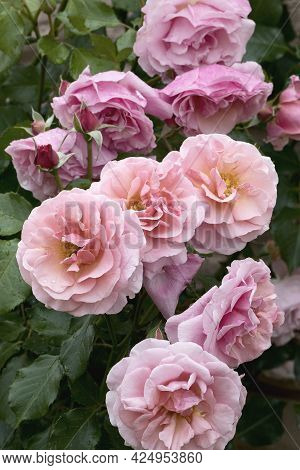 Large, Fragrant, Sumptuous, Coral-pink Roses With A Bud Against A Dark-leafed Rose Shrub In Spring.