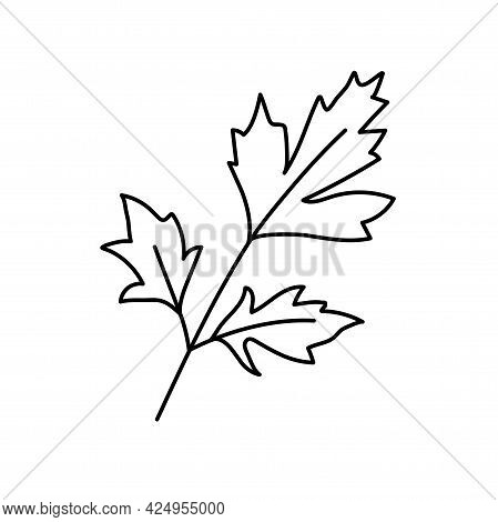 Parsley Herbs. Vegetable Sketch. Thin Simple Outline Icon. Black Contour Line Vector. Doodle Hand Dr
