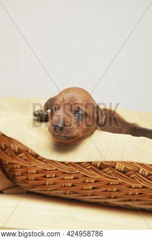 A Newborn Puppy Sleeps In A Wicker Basket. The Puppy Of The Dwarf Pinscher Is Resting.