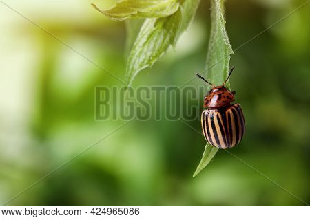 Colorado Potato Beetle On Green Plant Against Blurred Background, Closeup. Space For Text