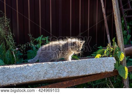 Small Kitten With Gray Fluffy Fur Carefully Sneaks Up On The Background Of Brown Corrugated Iron On