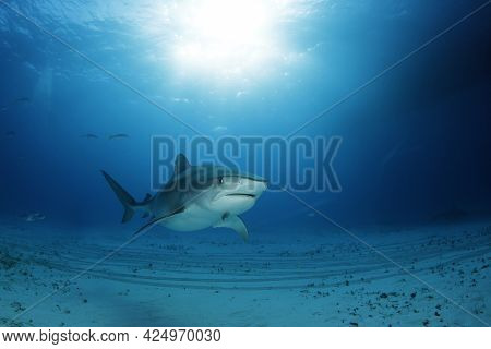 Tiger Shark (galeocerdo Cuvier) Approaching Over Sandy Bottom, With Sun Bursts Through The Surface.