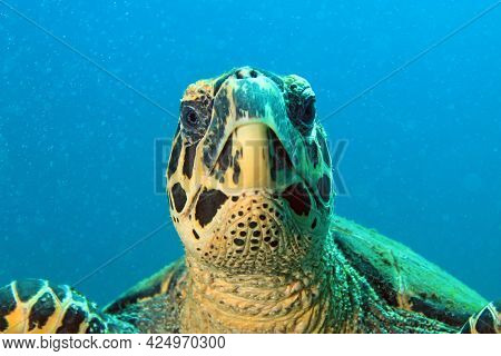 Close-up Of A Hawksbill Turtle (eretmochelys Imbricata), Looking Into The Camera. Coiba, Panama