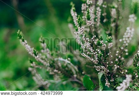 Blooming Heather Calluna Vulgaris On A Green Background. Nature Background. Blurry Abstract Defocuse