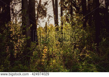 Beautiful Forest Landscape. Rays Of The Sun Break Through The Branches Of Trees In The Spring Forest