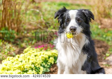 Outdoor Portrait Of Cute Puppy Border Collie Sitting On Garden Background Holding Yellow Flowers In