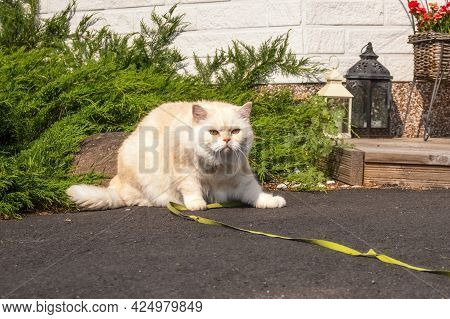 Scottish Cat. Golden Color. A Big Cat On A Leash Walks In The Yard. High Quality Photo