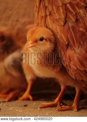 Portrait Of Chick , Chick With Family , Chicken Lover